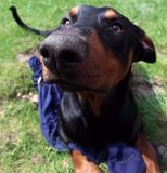 Doberman Pincher Stock Photos