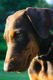 Doberman Pincher Puppy. Brown and rust doberman pincher puppy outdoors Royalty Free Stock Photography