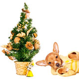 Doberman pincher puppy with a Christmas tree. Doberman pincher puppy laying next to a Christmas tree, isolated on white Royalty Free Stock Images