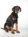 Doberman pincher puppy Royalty Free Stock Photo