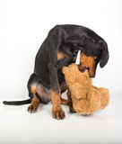 Doberman pincher puppy Royalty Free Stock Images