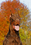 The Doberman Pinscher Royalty Free Stock Photo