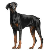 Doberman Pinscher, 13 months old, standing royalty free stock images