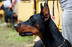 Doberman Pinscher Stock Photography