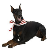 Doberman Pinscher Stock Photo