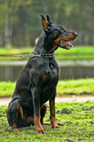 The Doberman Pinscher Stock Photo