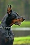 The Doberman Pinscher. Portrait of purebred doberman pinscher royalty free stock photos