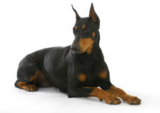 Doberman pinscher Obrazy Stock