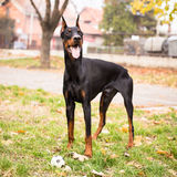 Doberman Pinscher Royalty Free Stock Images
