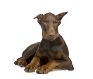 Doberman Pinscher (4 months) Royalty Free Stock Images