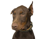 Doberman Pinscher (4 months) Stock Photography