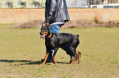 Doberman pinscher Obraz Royalty Free