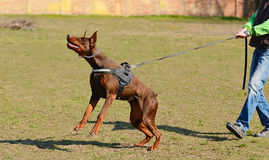Doberman pinscher Fotografia Royalty Free