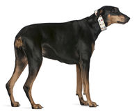 Doberman Pinscher, 9 years old, standing Stock Photos