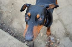 Doberman pinscher from above Royalty Free Stock Photo