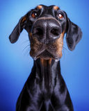 Doberman Pinscher Big Nose. Doberman Pinscher sitting, looking into the lens. lens distortion Big nose on blue background Royalty Free Stock Image