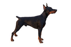 Doberman Pinscher. Black Male Doberman Pinscher Standing Stacked, White Background isolated royalty free stock images