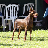 Doberman Pinscher (brown) Royalty Free Stock Photography