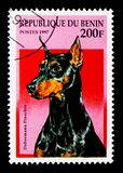 Doberman Pinscher (Canis lupus familiaris), Dogs serie, circa 19. MOSCOW, RUSSIA - NOVEMBER 26, 2017: A stamp printed in Benin shows Doberman Pinscher royalty free stock image