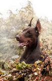Doberman pinscher poses for the camera. Calm, massive. royalty free stock photo