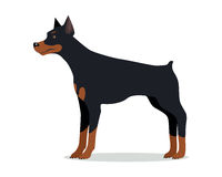 Doberman Pinscher, Dobermann, Doberman isolated. On white. Dog of medium-large size with square build and short coat. Home pet. Popular compactly built and Royalty Free Stock Image