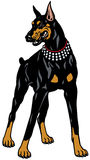Doberman pinscher. Dog doberman pinscher breed, front view , illustration isolated on white background stock illustration