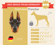 Doberman Pinscher Dog breed  infographics. This dog breed from Germany Stock Image