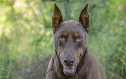 Doberman Pinscher dog Royalty Free Stock Images
