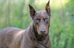 Doberman Pinscher dog Stock Images