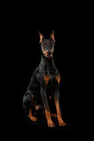 Doberman Pinscher Dog Sitting and Looking in Camera, isolated Black Royalty Free Stock Photos