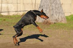 Doberman Pinscher dog Stock Photo
