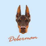 Doberman Pinscher dog. Vector illustrated portrait of red dog on blue background Royalty Free Stock Image