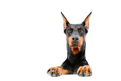 Doberman pinscher emerging from behind Royalty Free Stock Images