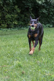 Doberman Pinscher fetching ball. Black Doberman Pinscher fetching ball in the park. It's a 5 years old bitch Royalty Free Stock Image
