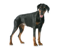Doberman pinscher. In front of white background stock images