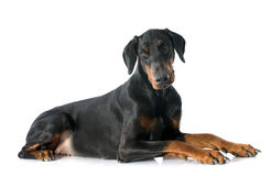 Doberman pinscher Stock Images