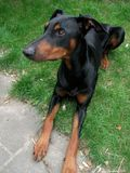 Doberman pinscher in the garden Stock Photo