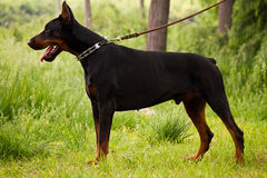 Doberman Pinscher Royalty Free Stock Photo