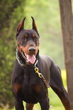 Doberman Pinscher Royalty Free Stock Image