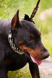 Doberman Pinscher Stock Photos