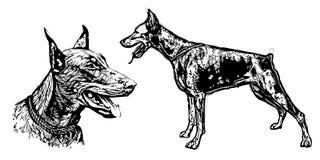 Doberman pinscher illustration Royalty Free Stock Photo