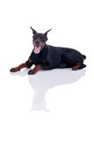 Doberman Pinscher isolated on white Royalty Free Stock Image