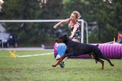Doberman pinscher with its female handler running dog agility course on rainy day.  stock images