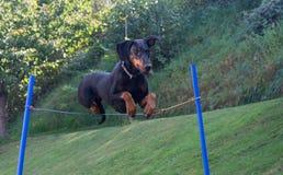 Doberman pinscher jumping Stock Images