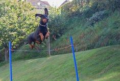 Doberman pinscher jumping Stock Image