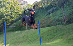 Doberman pinscher jumping Royalty Free Stock Photos