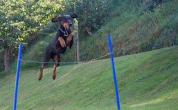 Doberman pinscher jumping Royalty Free Stock Photo
