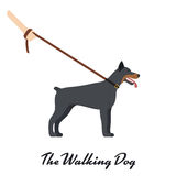 Doberman Pinscher with a leash. On white background. Vector illustration Stock Photos