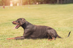 Doberman pinscher lie in the field Royalty Free Stock Image