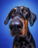 Doberman Pinscher with long nose looking into camera Royalty Free Stock Photography